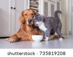 Stock photo british shorthair cats and golden retriever 735819208