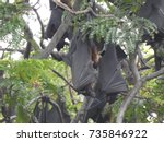 Small photo of Big Bats hanging upside down, Indian flying fox (Pteropus giganteus, Pteropodidae), also known as the greater Indian fruit bat