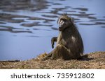 chacma baboon in kruger... | Shutterstock . vector #735912802
