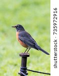 Small photo of American Robin perched on metal stake