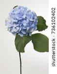hydrangea macrophylla mariama | Shutterstock . vector #736102402