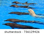 dolphins and white beluga whale ...   Shutterstock . vector #736129426