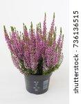 calluna vulgaris beauty ladies... | Shutterstock . vector #736136515