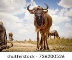 Small photo of A lone wildebeest pauses to regard the viewer under a blue sky