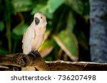 white salmon crested cockatoo...   Shutterstock . vector #736207498