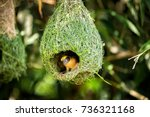 Wildlife   Weaver Birds Nest O...