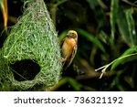 Wildlife   Weaver Birds Nest O...