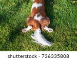 the dog cavalier king charles... | Shutterstock . vector #736335808