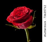 Wet Single Red Rose Isolated On ...