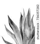 monochrome agave plant.... | Shutterstock . vector #736357282