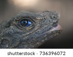 the head of the lizard is close ... | Shutterstock . vector #736396072