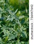 flowering lambs quarters  melde ... | Shutterstock . vector #736447642
