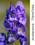 Small photo of Inflorescence of the blue azure Monkshood 'Arendsii' (Aconitum carmichaelii)