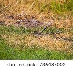 an inquisitive juvenile male ... | Shutterstock . vector #736487002