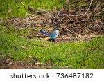 an inquisitive juvenile male ... | Shutterstock . vector #736487182