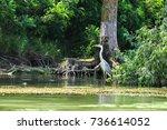 gray heron  ardea cinerea  on a ...   Shutterstock . vector #736614052