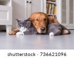 Stock photo british shorthair cats and golden retriever 736621096
