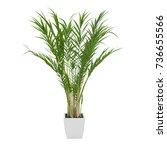 decorative areca palm tree... | Shutterstock . vector #736655566