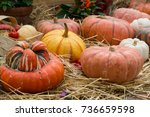 plenty of orange pumpkins in... | Shutterstock . vector #736659598