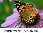 Butterflie On Echinacea Flower