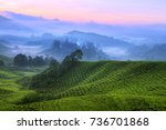 early sunrise at tea farm ... | Shutterstock . vector #736701868