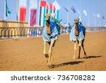 camels with robot jokeys at... | Shutterstock . vector #736708282