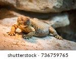 lizard on rock. lizard reptile... | Shutterstock . vector #736759765