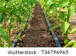 pepper plant and drip... | Shutterstock . vector #736796965