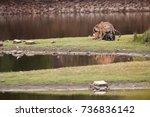 pair of wild bengal tigers ... | Shutterstock . vector #736836142