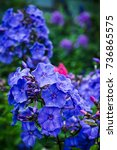"Blooming Phlox ""blue Paradise""..."