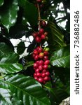 Small photo of coffee plant