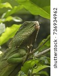 Small photo of The Green Water Dragon (Physignathus cocincinus) is a lizard of the family of Agamas (Agamidae)
