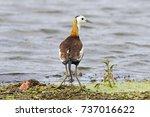 pheasant tailed jacana...   Shutterstock . vector #737016622