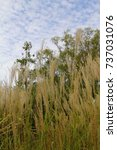 Small photo of Susuki and autumn sky / Susuki is a plant of the genus Pteridium of the family Gramineae.