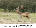 Fallow Deer During Mating...