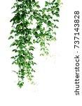 wild climbing vine  cayratia... | Shutterstock . vector #737143828