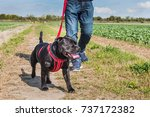 Small photo of man with jeans and trainers walking a staffordshire bull terrier dog on a leash, a red lead with a red harness. they are in a field in the countryside with a track through crops.