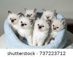 Many Kittens Cat Breeds Sacred...