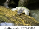 close up of alligator snapping... | Shutterstock . vector #737243086