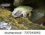 close up of alligator snapping... | Shutterstock . vector #737243092