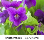 Close up of purple violet in a bunch - stock photo