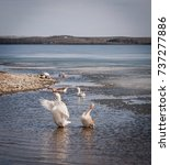 Small photo of geese frolic in the sea