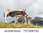 donkey jenny with suckling foal ... | Shutterstock . vector #737308732