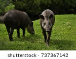south american tapir in the... | Shutterstock . vector #737367142