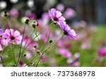 field of cosmos flowers. | Shutterstock . vector #737368978