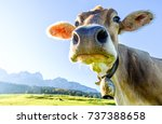 Stock photo funny cow at the kaisergebirge mountain 737388658