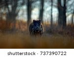 Big Wild Boar  Sus Scrofa ...