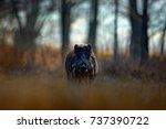 big wild boar  sus scrofa ... | Shutterstock . vector #737390722
