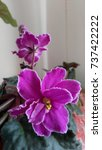 Small photo of African violet - Saintpaulia