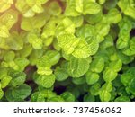 peppermint plant. closeup shoot ... | Shutterstock . vector #737456062